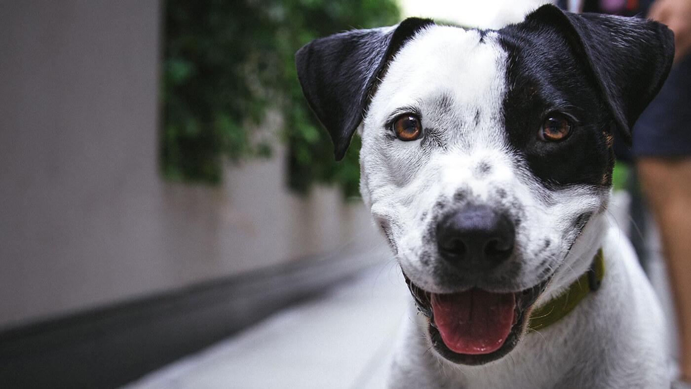 CurcuVET: Meriva® for Pets